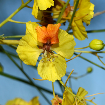 Parkinsonia aculeata - Jerusalem Thorn, Mexican Paloverde, Mexican Palo Verde (flower)