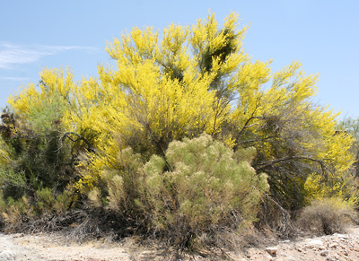 Parkinsonia florida - Blue Paloverde, Blue Palo Verde