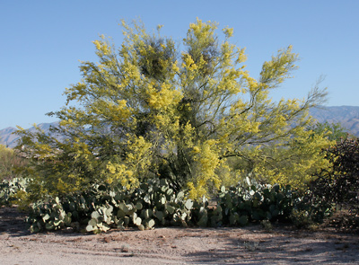 Parkinsonia microphylla - Yellow Paloverde, Foothill Paloverde, Foothill Palo Verde, Littleleaf Paloverde, Littleleaf Palo Verde