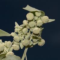 Green Flowers - Parthenice mollis – Annual Monsterwort