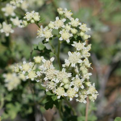 Parthenium incanum - Mariola (flowers)