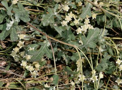 Parthenium incanum - Mariola (leaves)