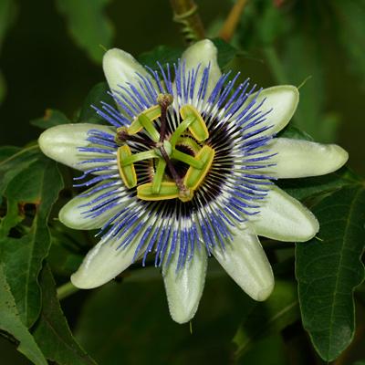 Passiflora caerulea - Bluecrown Passionflower, Blue-crown Passionflower, Blue Passionflower, Blue Passion Flower (green flower)