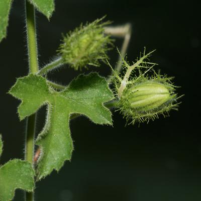 Passiflora foetida var. arizonica - Arizona Passionflower, Arizonia Passionflower [sic], Fetid Passionflower, Stinking Passionflower (leaf and flower bud)