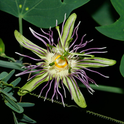 Passiflora mexicana - Mexican Passionflower, Mexican Passion Flower (purple flower)