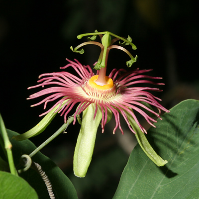 Passiflora mexicana - Mexican Passionflower, Mexican Passion Flower (red flower)