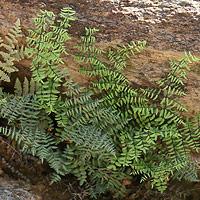 Non-flowering Plants - Pellaea truncata – Spiny Cliffbrake