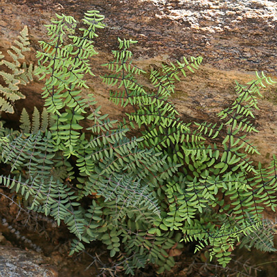 Pellaea truncata - Spiny Cliffbrake, Spiny Cliff Brake