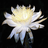 Nightblooming Cereus (Peniocereus greggii)