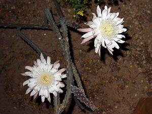 Peniocereus greggii - Nightblooming Cereus, Night Blooming Cereus, Desert Night-blooming Cereus, Queen of the Night