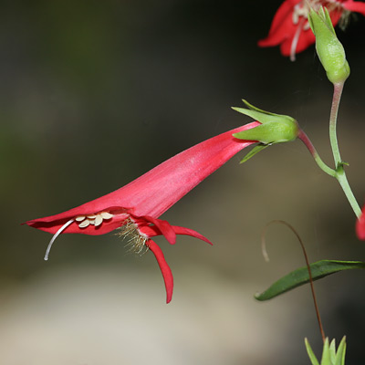 Penstemon barbatus - Beardlip Penstemon, Southwestern Penstemon, Golden-beard Penstemon (flower)