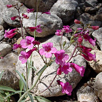 Pink Flowers - Penstemon parryi – Parry's Beardtongue