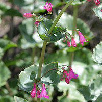 Pink Flowers - Penstemon pseudospectabilis – Desert Penstemon