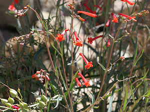 Penstemon subulatus - Hackberry Beardtongue, Arizona Scarlet-bugler