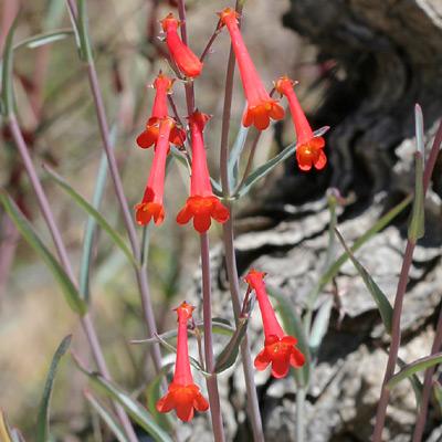 Penstemon subulatus - Hackberry Beardtongue, Arizona Scarlet-bugler (flowers)