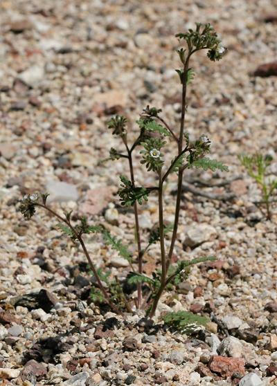 Limestone Phacelia, Limestone Scorpionweed, Limestone Scorpion-weed, Purplebell Phacelia