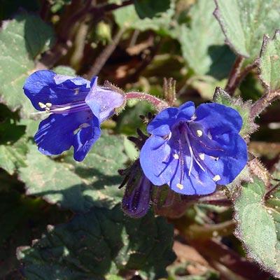 Phacelia campanularia - Desertbells, Desert Bell, Desert Bluebells, California Bluebell
