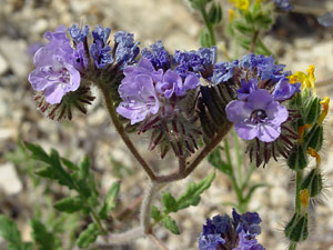 Phacelia distans - Distant Phacelia, Wild Heliotrope, Blue Phacelia, Distant Scorpion-weed