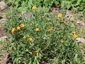 Phemeranthus aurantiacus - Orange Flameflower, Orange Fameflower [sic]