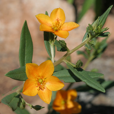 Phemeranthus aurantiacus - Orange Flameflower, Orange Fameflower [sic] (orange flowers)