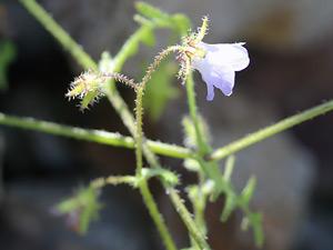 Pholistoma auritum - Blue Fiestaflower, Blue Fiesta-flower, Desert Fiestaflower