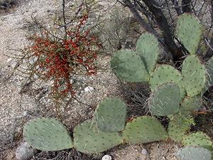 Phoradendron californicum - Mesquite Mistletoe, Desert Mistletoe