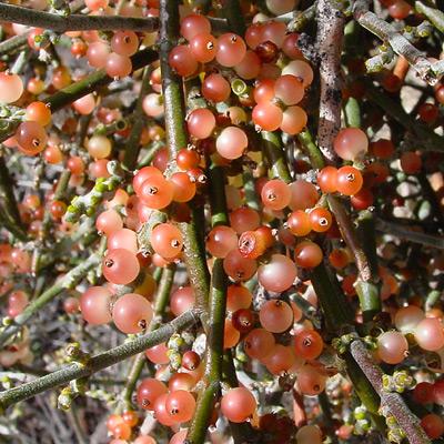 Phoradendron californicum - Mesquite Mistletoe, Desert Mistletoe (fruit)