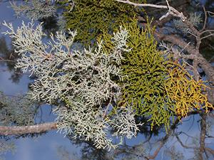 Phoradendron juniperinum - Juniper Mistletoe
