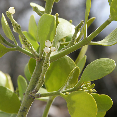 Phoradendron macrophyllum - Colorado Desert Mistletoe, Big Leaf Mistletoe (fruit)