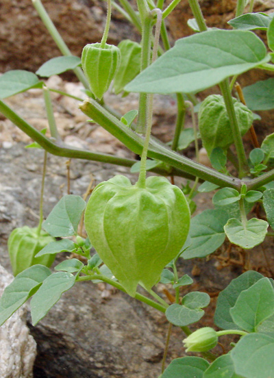 Physalis hederifolia - Ivyleaf Groundcherry, Ivy-leaf Ground Cherry (green fruit)