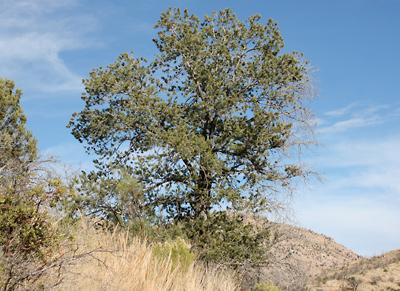 Pinus discolor - Border Pinyon