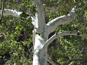 Platanus wrightii - Arizona Sycamore (bark)