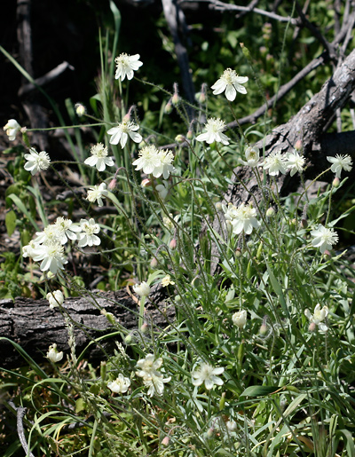 Platystemon californicus - Creamcups, Cream Cups, California Creamcups
