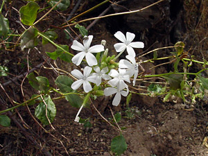 Plumbago scandens - Doctorbush, Summer Snow, Leadwort