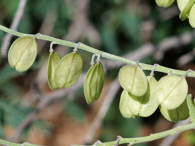Polygala barbeyana - Blue Milkwort, Slenderlobe Milkwort (fruit)