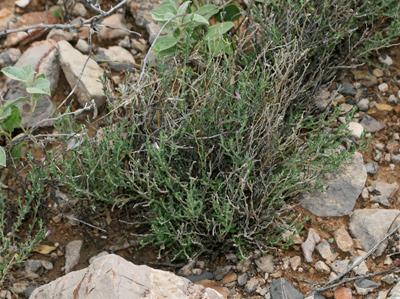 Polygala macradenia - Glandleaf Milkwort, Gland-leaf Milkwort, Purple Milkwort