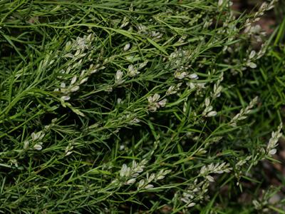 Polygala scoparioides - Broom Milkwort