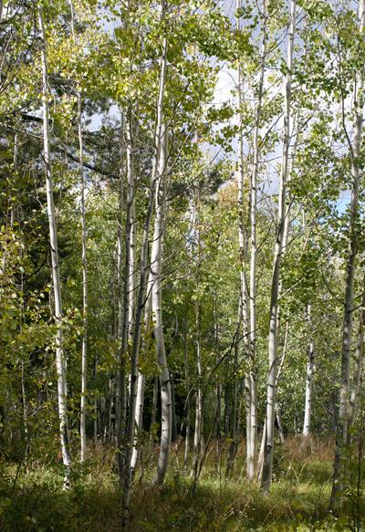 Populus tremuloides - Quaking Aspen, Trembling Aspen, Trembling Poplar, American Aspen, Golden Aspen
