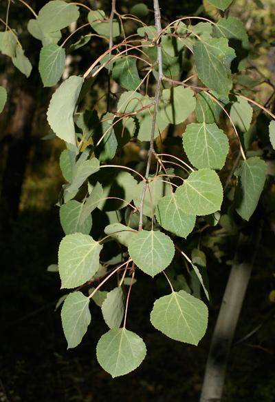 Populus tremuloides - Quaking Aspen, Trembling Aspen, Trembling Poplar, American Aspen, Golden Aspen (leaves)