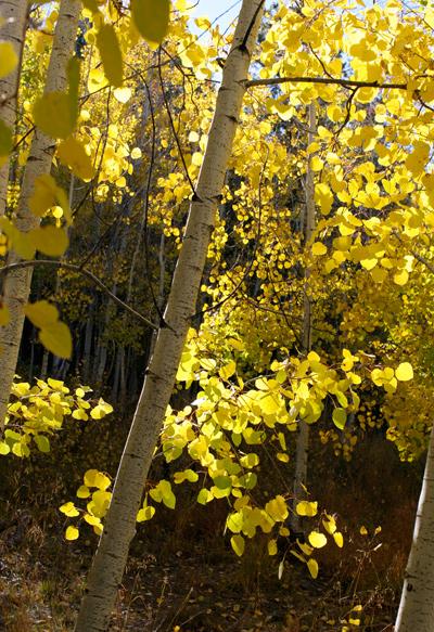 Populus tremuloides - Quaking Aspen, Trembling Aspen, Trembling Poplar, American Aspen, Golden Aspen (fall foliage)