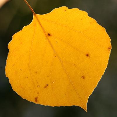 Populus tremuloides - Quaking Aspen, Trembling Aspen, Trembling Poplar, American Aspen, Golden Aspen (yellow autumn leaf)
