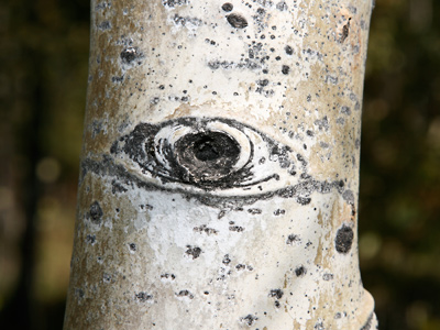 Populus tremuloides - Quaking Aspen, Trembling Aspen, Trembling Poplar, American Aspen, Golden Aspen (bark and aspen eye)