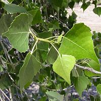 Inconspicuous Flowers - Populus fremontii – Fremont Cottonwood