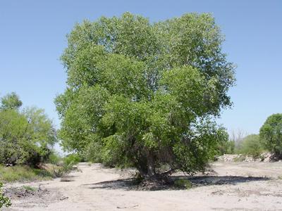 Populus fremontii - Fremont Cottonwood, Fremont's Cottonwood