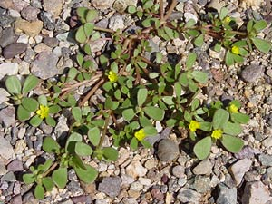 Portulaca oleracea - Little Hogweed, Common Purslane, Garden Purslane, Green Purslane, Pursley, Wild Portulaca