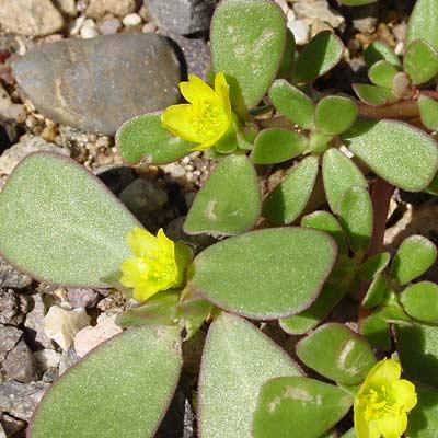 Portulaca oleracea - Little Hogweed, Common Purslane, Garden Purslane, Green Purslane, Pursley, Wild Portulaca