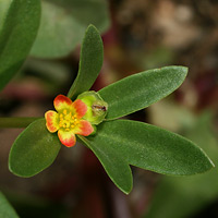 Orange Flowers - Portulaca umbraticola – Wingpod Purslane