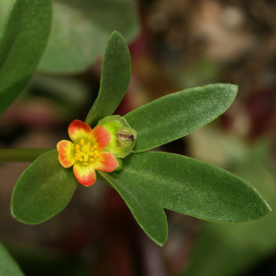 Portulaca umbraticola - Wingpod Purslane, Crownpod Purslane (flower)