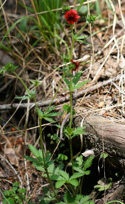 Potentilla thurberi - Scarlet Cinquefoil, Red Cinquefoil, Five-finger
