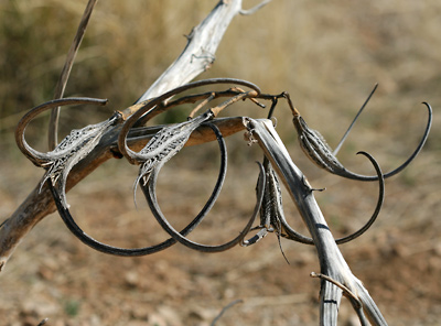 Proboscidea parviflora - Doubleclaw, Devil's Claw, Unicorn Plant (dry seedpods)